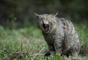 wildcat-356805_1920